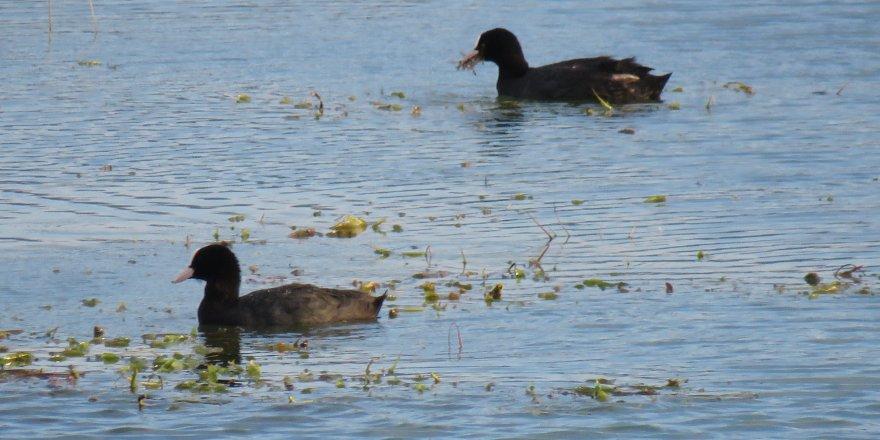 Beyşehir Gölü yavru kuşlarla renklendi