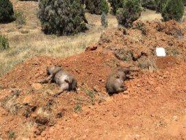 Konyada 5 domuz ölüsü bulundu