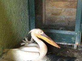 Yaralı pelikan tedaviye ediliyor