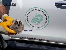 Yaralı yavru puhu kuşu tedaviye alındı