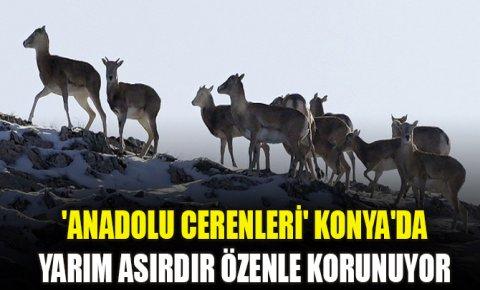 Anadolu cerenleri Konyada yarım asırdır özenle korunuyor