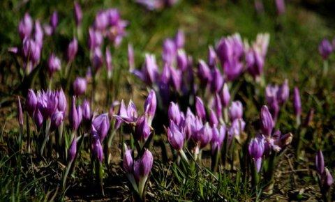 Toroslarda baharın müjdesi kardelenler çiçek açtı