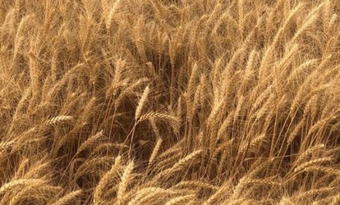 Ekmeklik buğday üretiminde birinci Konya