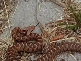 Konya'da zehirli üçgen başlı yılan görüldü