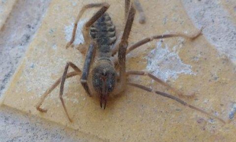 Konya'da etobur örümcek Sarıkız bulundu