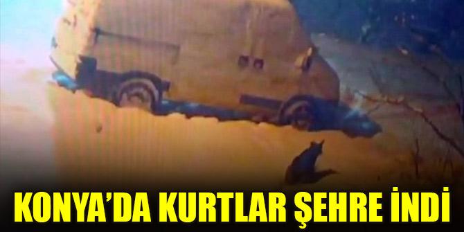 Konya'da kurtlar şehre indi