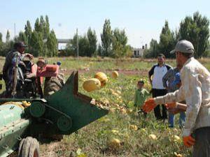 Beyşehirli çiftçinin alternatif ürünü çekirdeklik kabak