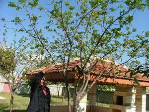 Kuluda elma ağaçları çiçek açtı