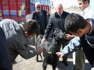 Üç boynuzlu kurbanlık keçi