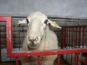 Organik koyunlar satışa çıktı