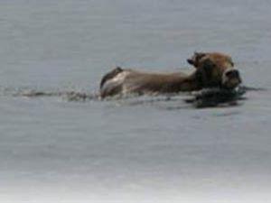10 km koşan dana 3 km yüzdü