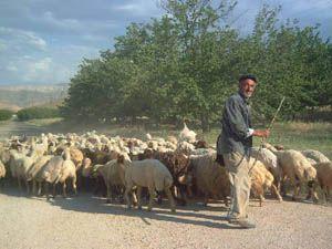 1500 Lira Maaşla Çoban Aranıyor