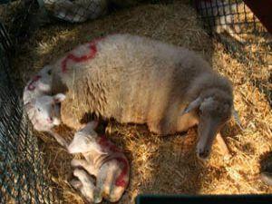 İkizler 3 gün arayla doğdu