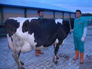 Dana Kreşinin Gözdesi günde 63 litre süt veriyor