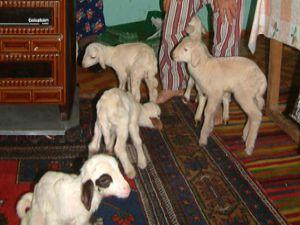 Yavru kuzuyu evinde biberonla besliyorlar