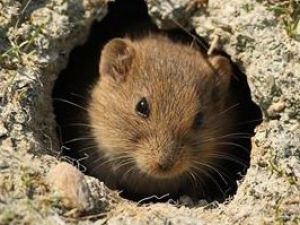 Kar tarla farelerinin zararını bitirdi