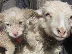 Koyun köpek doğurdu