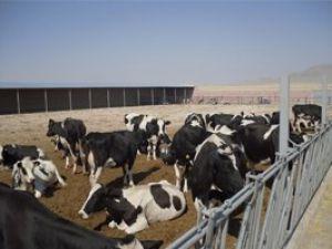 Anaç sığır desteği ödeniyor