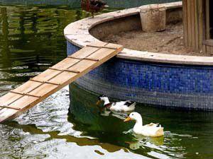 Ördeklerin havuz keyfi