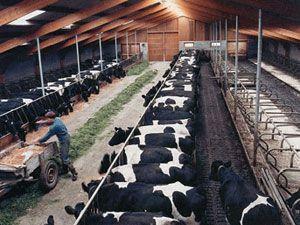 Altınekine 240 süt ineği