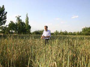 Dinkel buğdayının yeni adresi; Konya