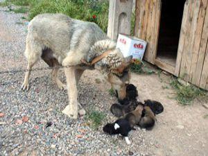 Cezaevi köpeği 9 yavru doğurdu