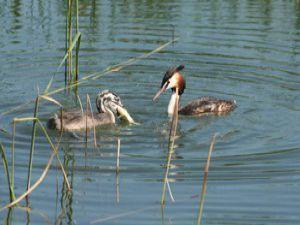 Bahri kuşları balık avında