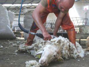 Beyşehirde koyunlar kırkılıyor