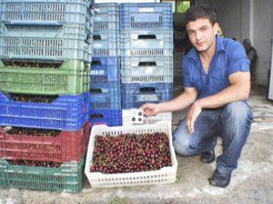 Halkapınarda ihracatlık kiraz sıkıntısı