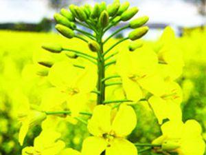 Konyayı ihya edecek bitki