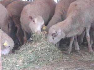 Konyaya ithal damızlık koyun getirildi