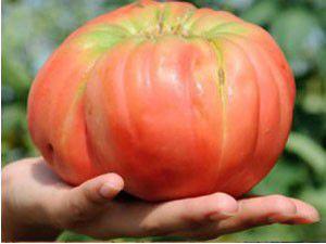 750 gramlık dev domates ürettiler