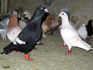 İhaleyle güvercin satışı