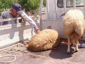 Koyunlarını çalan hırsızları affetti