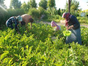 Hobi bahçelerinde hasat bereketi