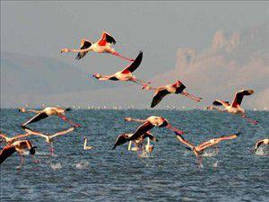 Flamingolar kuluçka rekoru kırdı