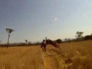 Bisiklet sürücüsüne antilop çarptı