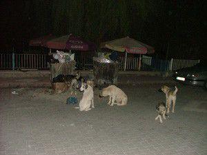 Konyada başıboş köpekler tehlike saçıyor