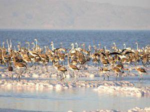 Tuz Gölünde 50 bin filamingo