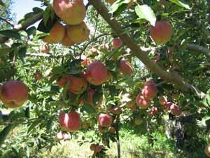 Ispartada 610 bin tonluk elma hasadı