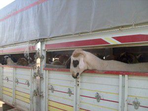 1075 kaçak hayvana el konuldu