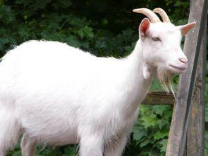 Yaban keçileri uydudan takip ediliyor