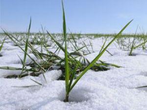 Kar, serin iklim tahıllarının sigortası