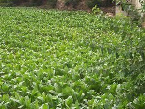 Beyşehirde tütün ekimi fırsatı