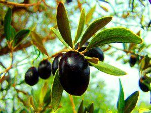Barışın ve bereketin simgesi zeytin ağaçları