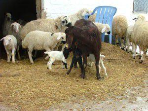 Konyada keçi üçüz doğurdu