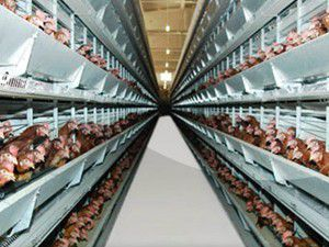 Tavuk üretimi 2011de yüzde 11.7 arttı