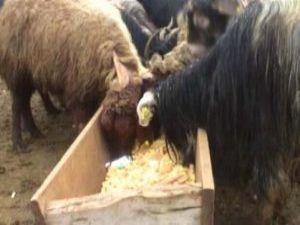 Koyunlara cips yediriyorlar
