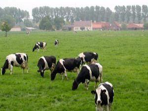 İnekler nasıl fazla süt verir?