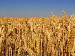 Buğdayda rekor bekleniyor